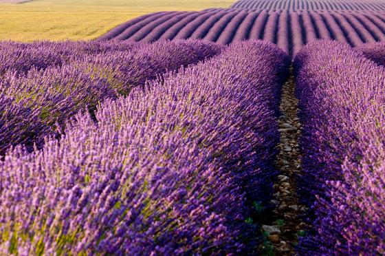 fields-of-lavender-brian-jannsen